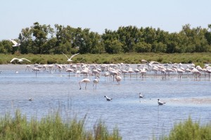 camargue-flamants-roses
